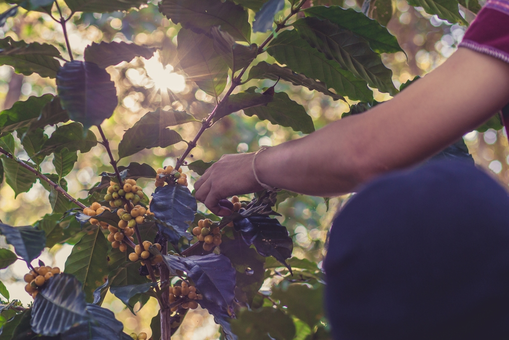 Farmer selecting fresh coffee cherries