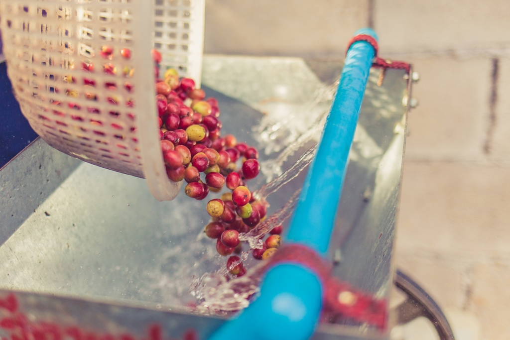 Coffee Production - Washing the Cherries