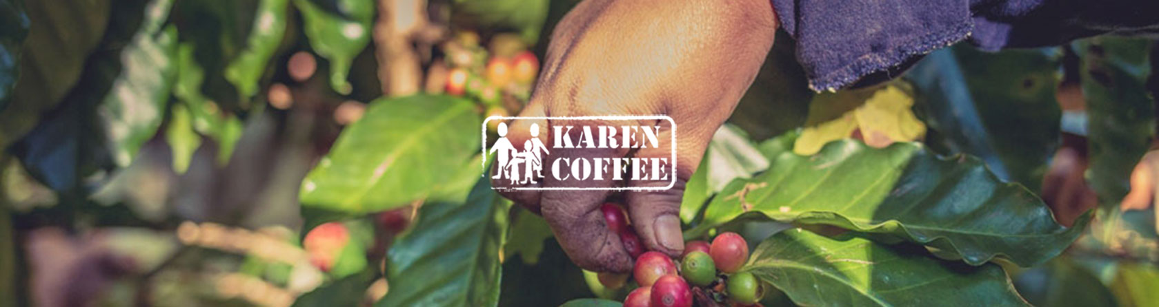 picking fresh coffee cherries
